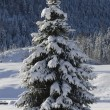 Single fir tree — Stockfoto