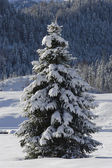 Single fir tree — Stock fotografie