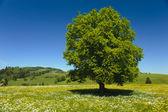 Pojedynczy buk drzewo — Zdjęcie stockowe