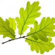 Oak leaf — Stock Photo #9759818
