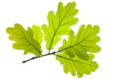 Oak leaf — Stock Photo
