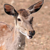 Antelope is lachen — Stockfoto
