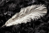 White ostrich feather — 图库照片