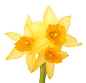 Bouquet of yellow narcissus — Stock Photo