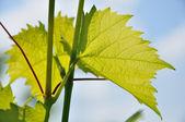 Green vine sheet — Stock Photo