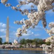 Stock Photo: Washington cherry blossoms 2012