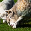 Lamb and mother sheep bonding — Stock Photo