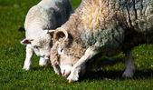 Lamm och mamma får bindning — Stockfoto