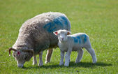 Lamb starring at camera with mother — Stock Photo