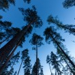 Stock Photo: Sky in Pine Forest