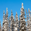 Snow-covered fir tree - Stock Photo