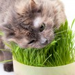 Stock Photo: Pet cat eating fresh grass