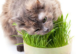 A pet cat eating fresh grass — Stock Photo