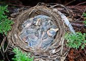 Very young baby robins in their nest. — Stock Photo