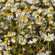 German chamomile — Stock Photo
