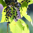 Постер, плакат: Grapes and leaves