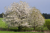 Spring landscape with flowering cherry tree — Stock Photo