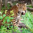 Jaguar in wildlife park — Stock Photo