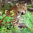 Jaguar in wildlife park — Stock Photo #10483533