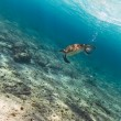 Green turtle in Caribbean sea - Stok fotoğraf