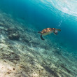 Green turtle in Caribbean sea - Stock Photo
