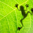 Frog shadow on the leaf - Stock Photo