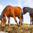 Irish horses on the hill - Stock Photo