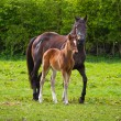 Horse and the foal — Stock Photo #10487061