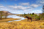 Irish horse in Connemara — Stock Photo