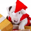 Bullterrier puppy gift box — Stock Photo #8008577