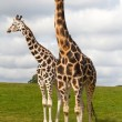Stock Photo: Giraffes in wildlife park