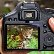 Постер, плакат: Shooting jaguar in wildlife