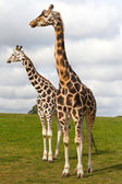 Giraffes in wildlife park — Stock Photo