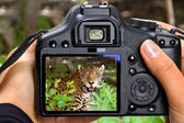 Shooting jaguar in wildlife — Stock Photo