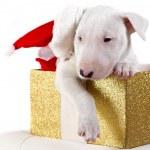Bullterrier puppy with Santa hat — Stock Photo