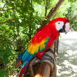Ara parrot in the wildlife — Stock Photo