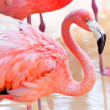 Stock Photo: Pink flamingo in wildlife