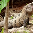 Wild iguana portrait — Stock Photo