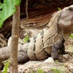 Wild iguana portrait — Stock Photo #8430832