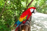 Ara parrot in the wildlife — Stock Photo
