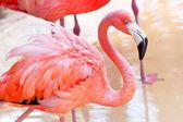 Pink flamingo in wildlife — Stock Photo