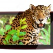 Stock Photo: 3d tv with wildlife jaguar