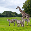 Stock Photo: Zebras and giraffe in wildlife