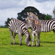 Постер, плакат: Zebras in the wildlife