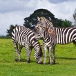 Stock Photo: Zebras in wildlife