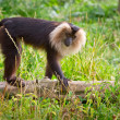 Stock Photo: Lion tailed macaque monkey