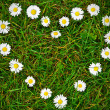 Daisy flowers heart shape — Stock Photo