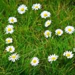 Daisy flowers heart shape — Stock Photo