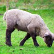 Baby lamb — Stock Photo #9857686