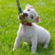 Cute little puppy - Stock Photo